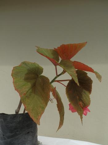 begonia ala de angen